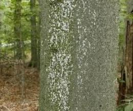 White spots on the bark of beech trees is a clear indication of Beech Bark Disease