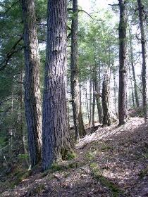 A dense grove of hemlocks makes shade on a steep hillside.