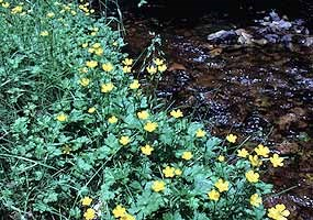 Marsh marigolds bloom in bright yellow along a springtime stream.
