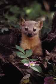 An American marten, which is a slender weasel about the size of a mink, looks up alertly at the camera over some forest wildflowers.