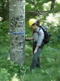 Park researcher inspecting a marked potentially resistant beech tree in the backcountry.