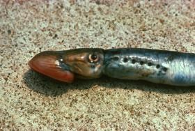 Sea lamprey on the ground, showing head and gill area