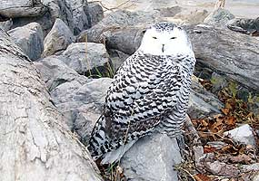 This snowy owl is resting on a rock along the Lake Superior shoreline.