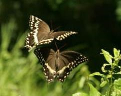 Two swallowtail butterflies fly together over a sunny field.