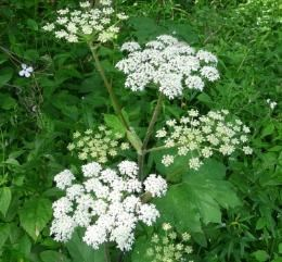 Close-up of cow parsnip showing the bright white umbels and palmate leaves below.