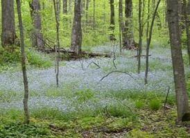 A carpet of light blue invasive forget-me-not flowers covers the forest floor.