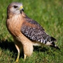 Red-shouldered hawk on ground, showing its reddish breast and shoulders.