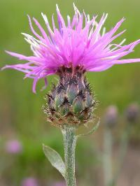Close-up of spotted knapweed, showing the light purple flowers on top and black spots on the bracts below.
