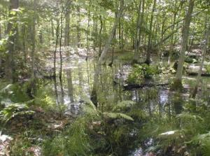 A temporary vernal pool creates a wetland in a red maple grove.
