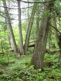 Trunks of northern white cedar stand in wet soils in an Upper Peninsula conifer swamp.
