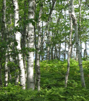 White birch trees stand against the background of blue sky and Lake Superior.