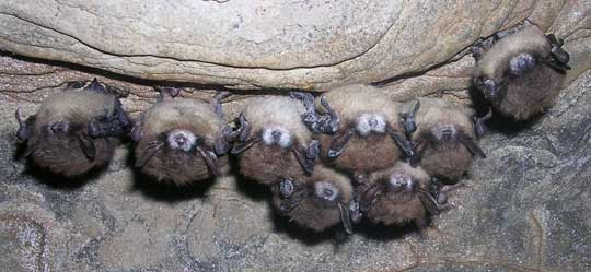 hibernating bats with white-nose syndrome