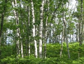 Several tall white birch trees standing on a forest floor covered with ferns.