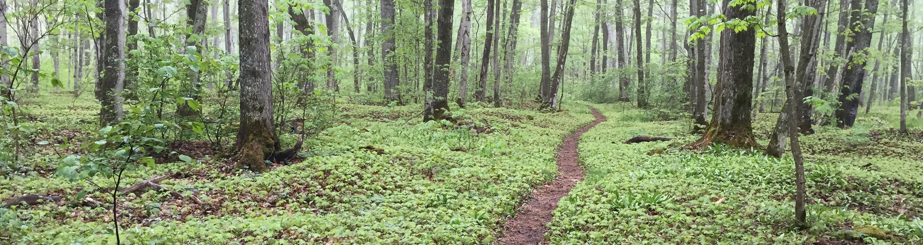 Portion of the lakeshore trail in the summer winding through the woods