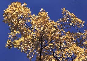 The golden autumn leaves of a sugar maple tree are ablaze against the lovely blue sky.