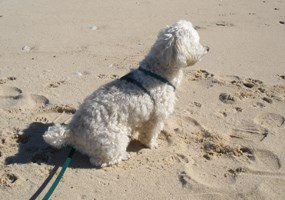 Pogo the poodle on Hurricane River beach