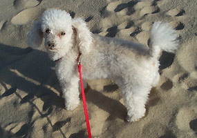 This toy poodle enjoys an afternoon at Miners Beach.