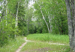 There's a fork in this trail near the Twelvemile Beach Campground, winding through a white birch forest.