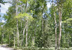 This white birch forest is located along the entrance road to Twelvemile Beach Campground at Pictured Rocks National Lakeshore.