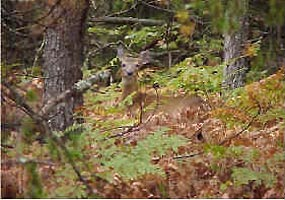 A white-tailed deer at home in the Seney National Wildlife Refuge.