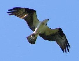 An Osprey's diet consist almost completely of fish.