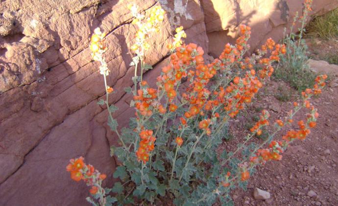 Desert Globemallow Pipe Spring National Monument U S