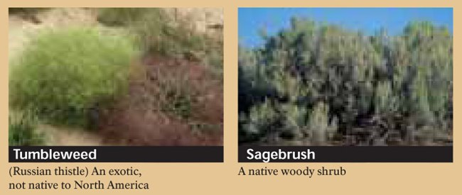 Tumbleweed and Sagebrush