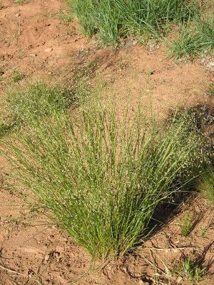 Indian ricegrass