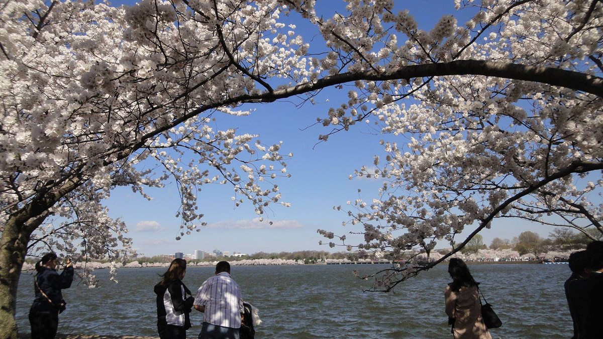 Cherry blossoms blooming around the tidal basin