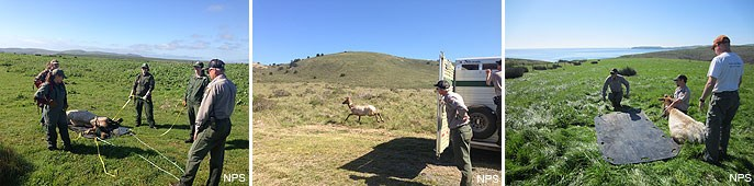 Three images taken in early March 2015 during an experimental tule elk relocation project.