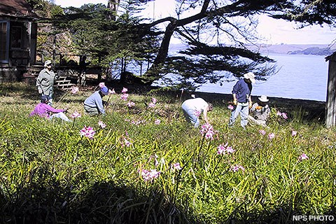 Six volunteers removing cape ivy.