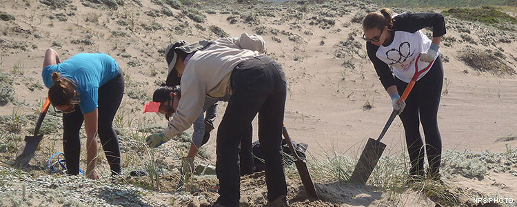 Surrounded by sand dunes, four volunteers with shovels dig up invasive grasses.