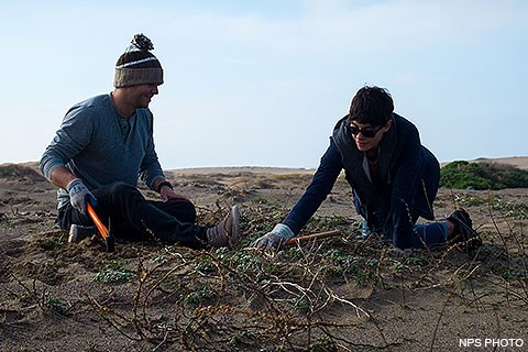 Two volunteers removing invasive European searocket at Abbotts Lagoon.