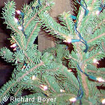 Detail of Douglas fir with holiday lights