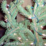 Detail of Douglas fir with holiday lights.