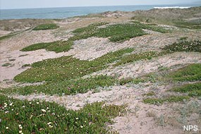 Iceplant encroaching upon native dune vegetation.
