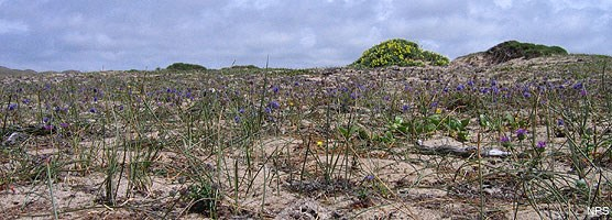 Native dune vegetation.