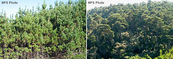 Left Image: Close view of 10 year old Bishop pine regeneration; Right Image: Mature Bishop pine forest.