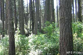 Douglas fir forest with mixed understory