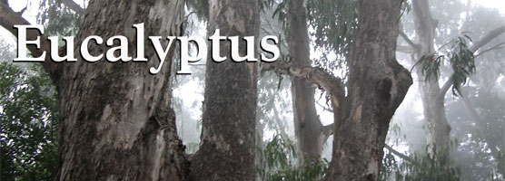 Fire Newsletter: Eucalyptus
