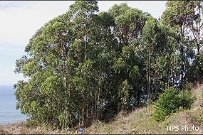 Eucalyptus trees at Palomarin