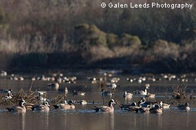 American Wigeons and Northern Pintails congregating in the newly restored wetlands © Galen Leeds Photography
