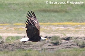 Bald eagle flying over Giacomini Wetlands, May 2009, Photography by Galen Leeds