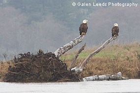 Bald eagles on downed tree along Lagunitas Creek © Galen Leeds Photography