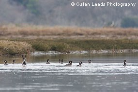 A flock of buffleheads in restored wetlands in winter 2009-2010. © Galen Leeds Photography