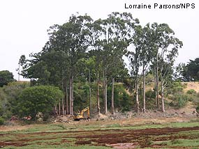 Eucalyptus removal on Point Reyes Mesa portion of Giacomini Ranch.