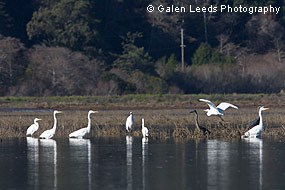 Great Blue Herons and Great Egrets in wetlands. © Galen Leeds Photography