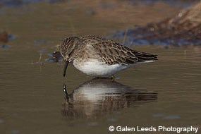 Least sandpiper in the Giacomini Wetlands. © Galen Leeds Photography.