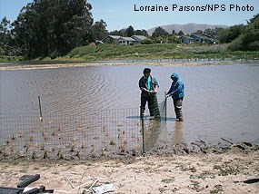 Marin Conservation Corps crew installing exclosures around freshwater marsh plants in Tomasini Triangle marsh.