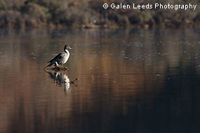 Northern Pintail perched on log © Galen Leeds Photography